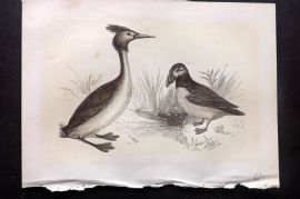 Bicknell 1850s Antique Bird Print. Crested Grebe & Puffin